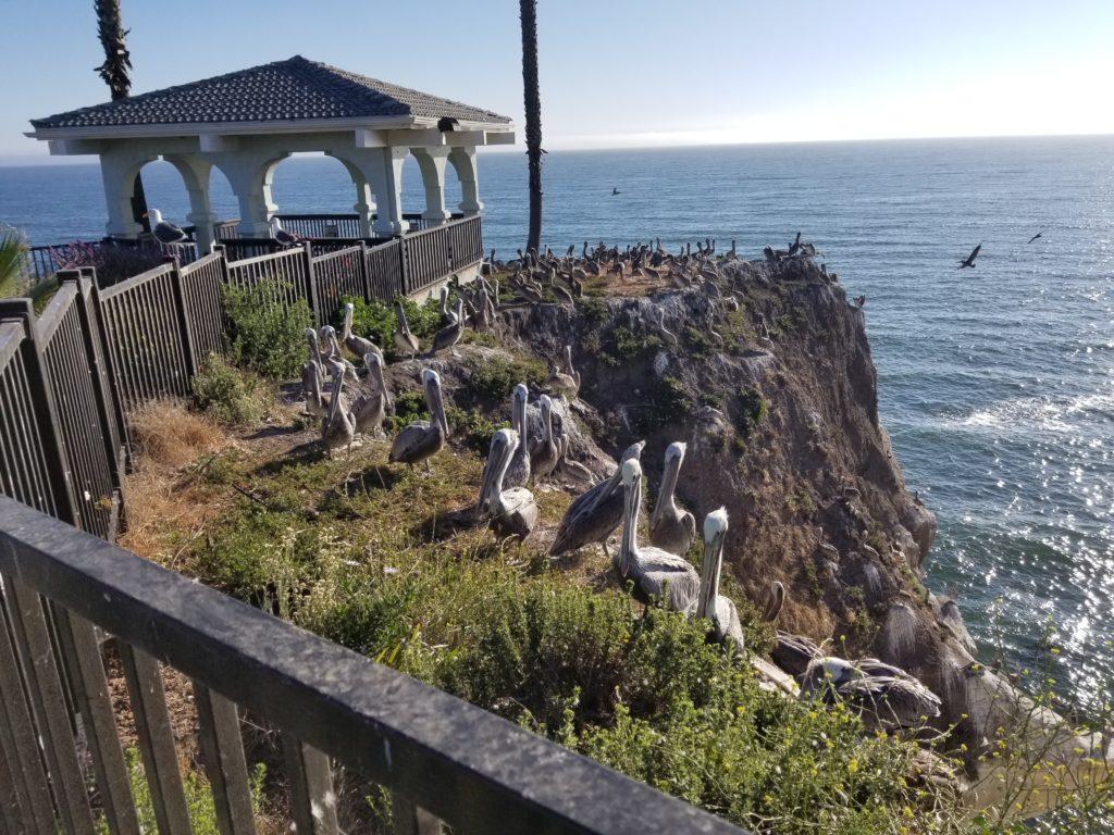 pelicans-Pismo-Beach